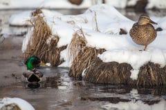 Neve recente della primavera Fotografie Stock Libere da Diritti