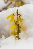 Neve recente sulla forsythia gialla di fioritura Immagine Stock
