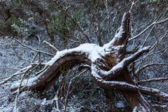 A neve recolheu em uma árvore caída na vigia da parede de Lithgows Hassans Imagem de Stock