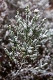 A neve recolheu nas folhas de um arbusto na parede de Hassans em Lithgo Fotos de Stock Royalty Free
