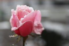 Neve rosa sola Immagine Stock Libera da Diritti