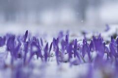 Neve sobre um campo do açafrão selvagem Imagens de Stock Royalty Free