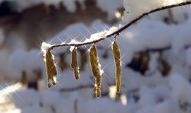 Neve su un ramo della nocciola Fotografia Stock