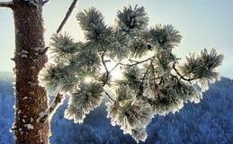 Neve su una filiale del pino Fotografie Stock Libere da Diritti