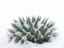 Neve su una pianta di secolo Fotografie Stock Libere da Diritti