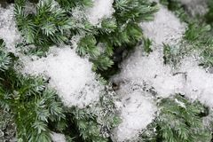 Neve sugli aghi del pino fotografia stock