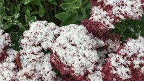 Neve sui fiori stock footage