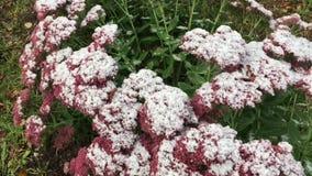 Neve sui fiori archivi video