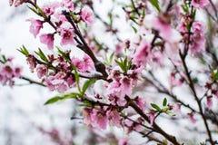 Neve sui fiori della pesca in primavera immagine stock