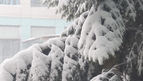 Neve sui rami dell'abete archivi video