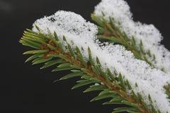 Neve sul ramo dell'abete Immagine Stock Libera da Diritti