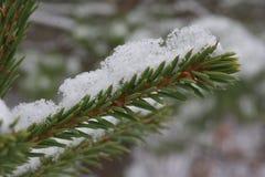 Neve sul ramo dell'abete Fotografia Stock Libera da Diritti