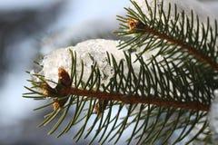 Neve sull'albero di pino Fotografie Stock Libere da Diritti