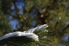 Neve sull'albero di pino Immagini Stock Libere da Diritti
