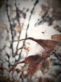 Neve sulla foglia Immagine Stock