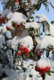 Neve sulle bacche Fotografie Stock