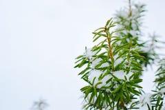 Neve sulle piante con spazio bianco Immagini Stock