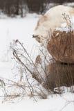 Neve vermelha da batida do vulpes do Vulpes do Fox do mármore fora da rocha Fotos de Stock