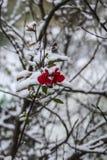 Neve vermelha da flor imagem de stock royalty free