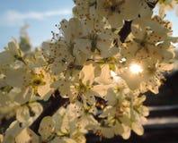 Nevel van bloesem voor de zonsondergang royalty-vrije stock foto
