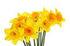 Nevel van daffodills royalty-vrije stock afbeelding