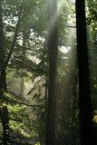 Nevelig bos bij zonsopgang Stock Afbeelding