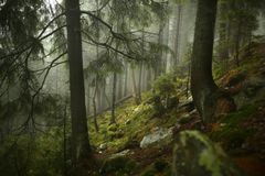 Nevelig pijnboombos op de berghelling in een natuurreservaat Royalty-vrije Stock Foto's