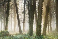 Nevelig vroeg ochtend Engels bos Stock Foto's