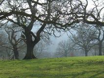 Nevelige Bomen in de Winter Stock Fotografie