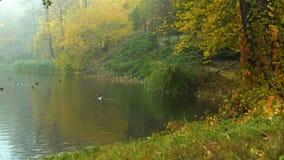 Nevelige herfstochtend op een meer met eenden en watervogels stock footage