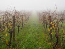 Nevelige ochtend bij de wijngaard Royalty-vrije Stock Foto