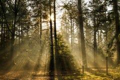 Nevelige ochtend in het bos Stock Foto's