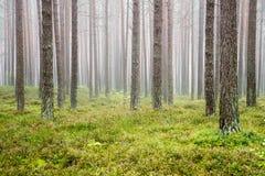Nevelige ochtend in het hout Stock Foto's