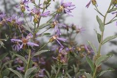 Nevelige purpere bergbloemen royalty-vrije stock afbeeldingen
