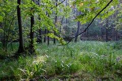 Nevelige zonsopgangochtend in vergankelijk bos stock foto