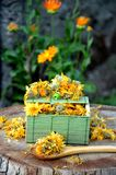 Neven nagietka medicinaln planety koloru żółtego colpr Zdjęcie Royalty Free