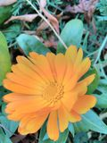 Neven. Spring orange beautifull flower Royalty Free Stock Photography