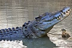 Never smile at a crocodile. Saltwater crocodile, patiently staring, watching and waiting Stock Photo