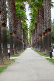 The neverending avenue with palms in Manacor. Royalty Free Stock Images