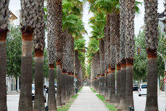 The neverending avenue with palms Stock Image