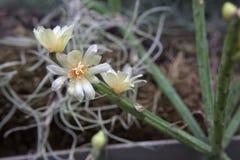 Neves-armondii de Rhipsalis, espèces des cactus de gui Photographie stock libre de droits