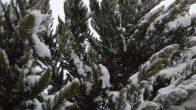 Nevicando sulle foglie del pino stock footage