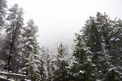 Nevicata della neve coperta sull'albero alpino in cima alla montagna Immagine Stock