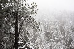 Nevicata della neve coperta sull'albero alpino in cima alla montagna Immagine Stock Libera da Diritti