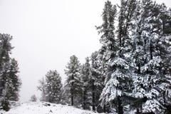 Nevicata della neve coperta sull'albero alpino in cima alla montagna Fotografie Stock Libere da Diritti