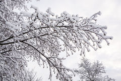 Nevichi sui brunch dell'albero nell'inverno BRITANNICO 4 Fotografia Stock Libera da Diritti