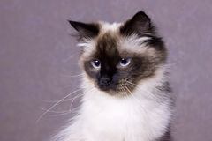 Nevsky mascaraing cat poses Royalty Free Stock Photo