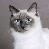 Nevsky mascaraing cat poses Stock Image