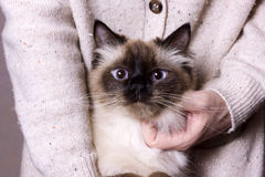 Nevsky mascaraing cat poses. For the camera royalty free stock photo