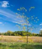 New acacia tree meets its first fall season Royalty Free Stock Photo